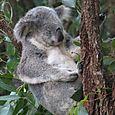 Koala Qsld