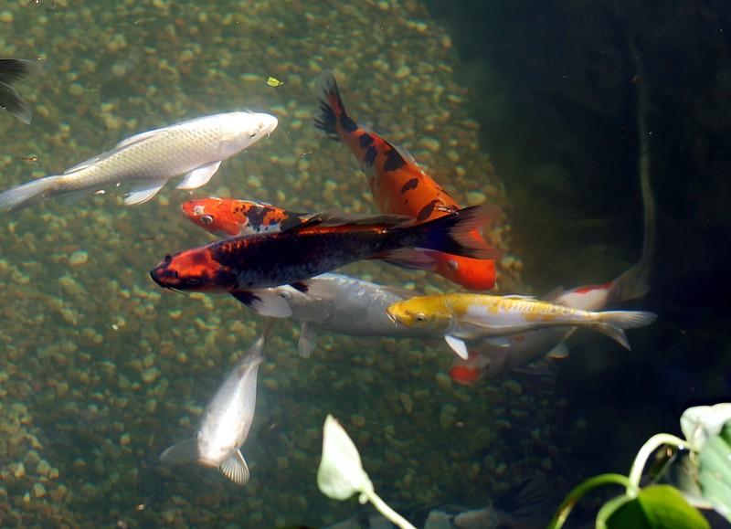 I love my koi pond for My koi pond