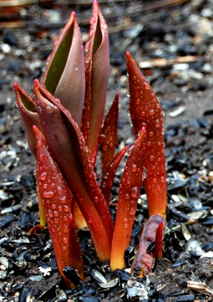 Tulipdrops