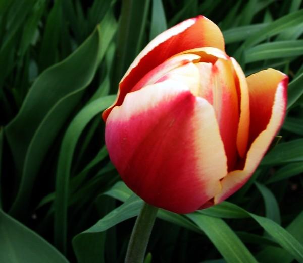 Tulipredy
