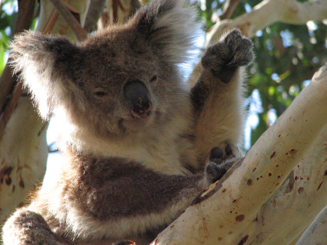 Koala6